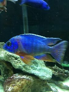 "6"" red shoulder peacock cichlid"