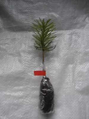Nordmann Fir, Nordman Fir, Living Christmas Tree, Cell Grown Plug plants X 20