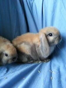 PUREBRED BABY MINI LOP RABBIT (SOLD) Trott Park Marion Area Preview
