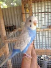 tamed baby budgies Glenroy Moreland Area Preview