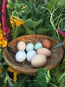 Free Range Eggs Eudlo Maroochydore Area Preview
