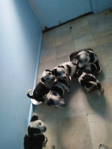 Puppies for sale South Maclean Logan Area Preview
