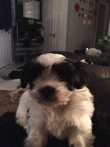 Shih tzu puppies looking for a loving home