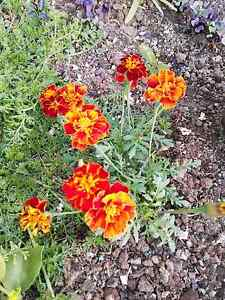 Marigold flowers 100 seeds Mount Hunter Wollondilly Area Preview