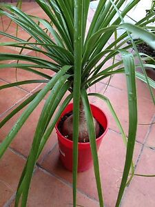 Pony Tail Plants & Seeds Padbury Joondalup Area Preview