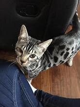Missing Bengal cat Frankston Frankston Area Preview
