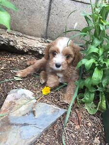 Gorgeous Cavoodle puppies! Penrith Penrith Area Preview