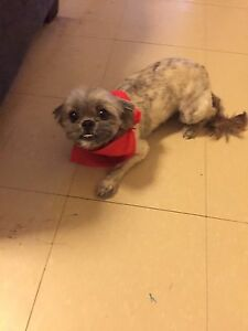 2 yr old shih tzu poodle looking for a good home