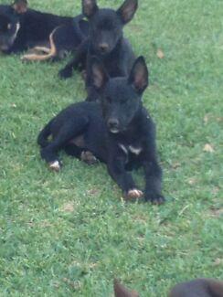 1 Free Kelpie X pup - female