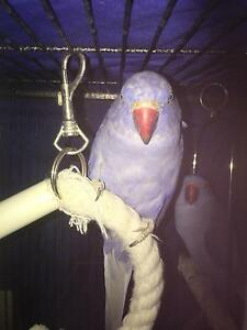 Double factor violet indian ringnecks Kelso Townsville Surrounds Preview