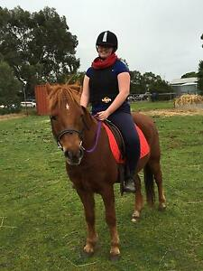 New Forest Pony gelding 11yrs 13.05hh Willow Grove Baw Baw Area Preview