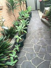 Agave Attenuata plants Casula Liverpool Area Preview