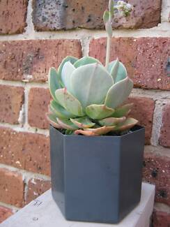 Succulent Plant in decorative pot