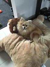 Purebred female Pomeranian for sale Klemzig Port Adelaide Area Preview
