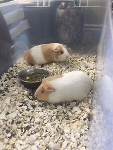 Two females Guinea pig $100