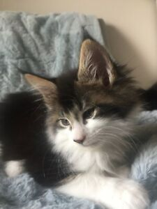 Maine Coon | Adopt Cats & Kittens Locally in Ontario