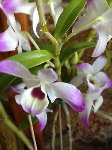 Orchid: Dendrobium for Sale Reservoir Darebin Area Preview