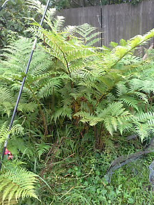 Tree ferns Bomaderry Nowra-Bomaderry Preview