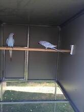 ringneck parrots Jimboomba Logan Area Preview