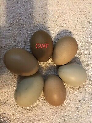 6 Olive Egger Hatching Eggs
