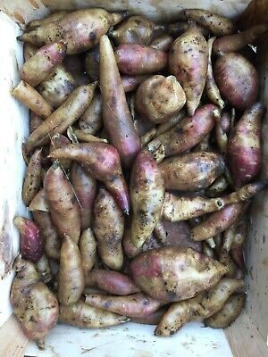 New Zealand- yacon/poire de terre- Smallanthus sonchifolius- 5 tubercules/tubers