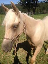 Palomino Arab Gelding by Ray of Light x Fortissima KEI Wauchope Port Macquarie City Preview