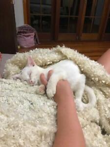 Gorgeous Ragdoll X Male Kitten