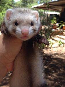 Ferret kits for sale Stoneville Mundaring Area Preview