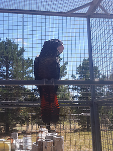 Red tailed black cockatoo Diggers Rest Melton Area Preview