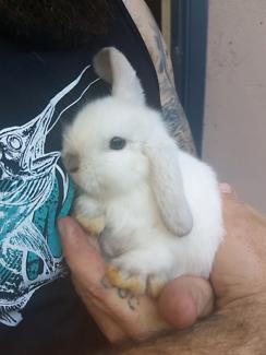 One mini lop bunny rabbit left