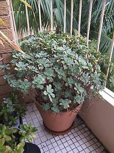 Large Outdoor Plant & Pot (2) Cronulla Sutherland Area Preview