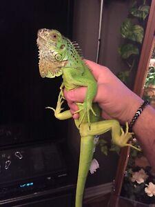 Iguane et terrarium/vivarium