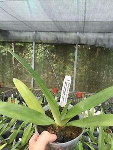 QOB Orchid plant SPECIES Multiflorous Paphiopedilum rothschildianum 100mm pot