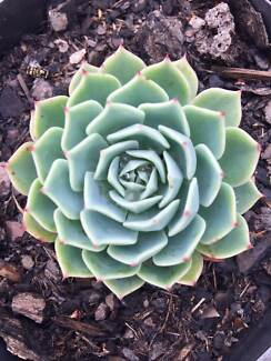 Succulents for Sale and lots more-Mornington