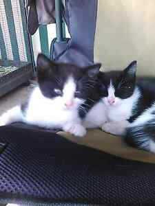 9 week can deliver black and white kittens Sunbury Hume Area Preview