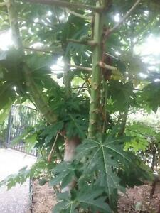 Papaya or Paw Paw for nutrition & medicinal value
