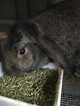 rabbits to good home only Penrith Penrith Area Preview