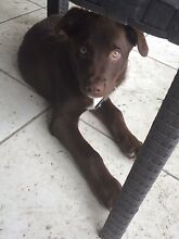 9 week old kelpie cross collie for sale Dakabin Pine Rivers Area Preview