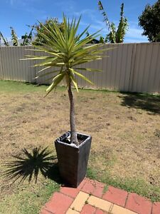 Wanted: Yucca plants x2