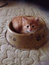 Ginger male kitten for sale Greta Cessnock Area Preview