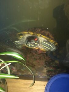 Redneck slider turtle with tank and everything with him tank