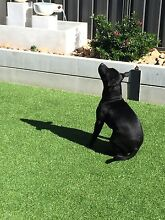 male english staffy Thurgoona Albury Area Preview