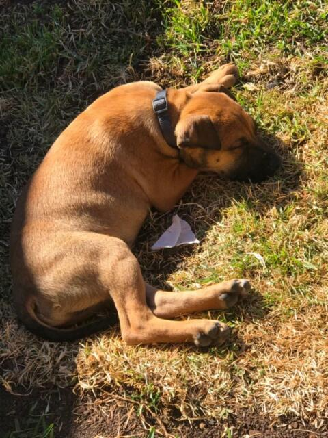 Free to good home 1 year old puppy | Dogs & Puppies | Gumtree