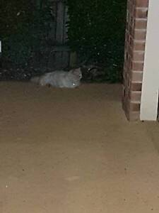 Found - Cat Chermside West Brisbane North East Preview