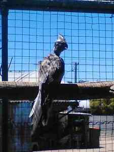 Baby cockatiel Bellbird Cessnock Area Preview