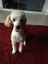 Found Miniature Poodle in Griffin on 4/2/16 Griffin Pine Rivers Area Preview