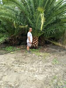 PALM TREES - CLOSING DOWN SALE $350- $500 EACH MUST GO