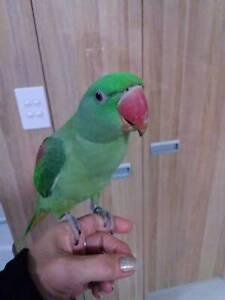 Alexanderine Parrot