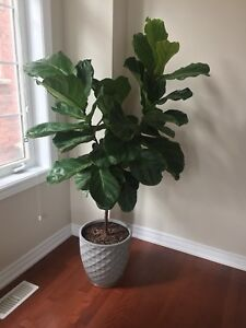 Ficus Lyrata indoor live plant with pot