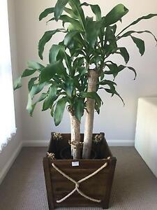 Plant with wooden pot for sale Merrimac Gold Coast City Preview